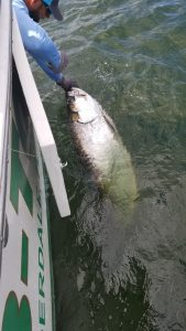 Holding a tarpon in the water next to the boat for a picture.